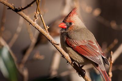 Female Northern Cardinal, Cardinalis cardinalis (Cardinalidae) - RFP 10x15 - Bill Dahl (WMDahl)
