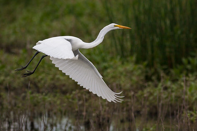 Great White Egret, Ardea alba (Ardeidae), Clarence Cannon National Wildlife Refuge, Annada, Missouri. - Bill Dahl (WMDahl)  - RFP
