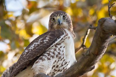 Prairie Falcon, Falco mexicanus; Falconidae; Forest Park, St. Louis, Missouri - RFP 10x15 - Bill Dahl (WMDahl)