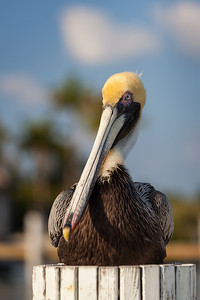 Brown Pelican (Pelecanus occidentalis) taken in the Florida Keys RFP 16x11 - Bill Dahl (WMDahl)