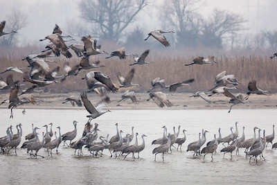 One of the truly fantastic bird migration events. Sandhill Cranes, Grus canadensis (Gruidae) as they move north across North America - here stopping over on the Platte River outside the Audubon Society's Lillian Annette Rowe Bird Sanctuary (commonly known as Rowe Sanctuary) in Gibbon, Nebraska. this morning in early March it was estimated there were over 5,000 birds on our small stretch of the river. Hard to comprehend, but these were the just early arrivals as over 450,000 are expected over the next few weeks. They'll rest along the Platte and feed on corn (waste leftover from the fall harvest) and other local invertebrates for about a month before moving north for the summer.  What a treat!! In addition to the shear visual spectacle of the, the sound is indescribable. I've never seen or experienced anything like this before and I'll be sure to do it again. We had fog on this morning making the colors appear more like a painting than a photograph. Here it's also during the transition from darkness to sunrise. - RFP 11x16 - Bill Dahl (WMDahl)