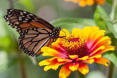 Monarch Butterfly (Danaus plexippus), Missouri Botanical Garden RFP 10x15 - Bill Dahl (WMDahl)