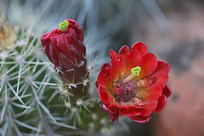 Engelmann's Hedgehog Cactus, Echinocereus engelmannii