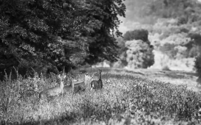 Whitetail Deer, Odocoileus virginianus (Cervidae)