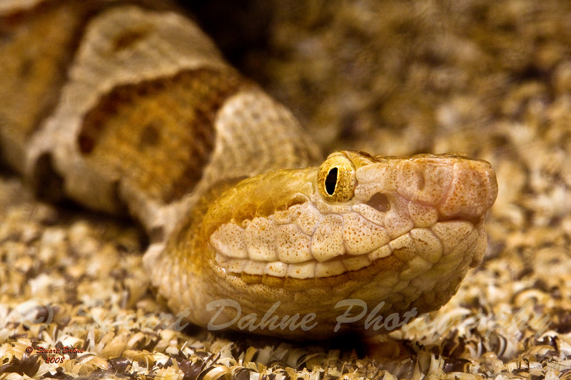 "The Copperhead ~ Agkistrodon Contortrix<br /> <br /> This can be found in the ""ANIMALS"" gallery under REPTILES AND AMPHIBIANS"