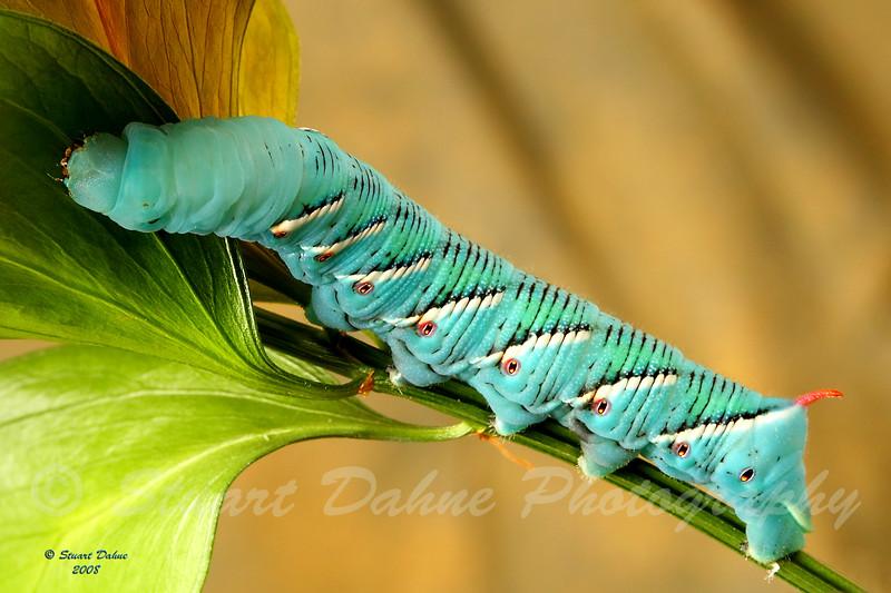 The Hornworm<br /> Manduca quinquemaculata~sexta