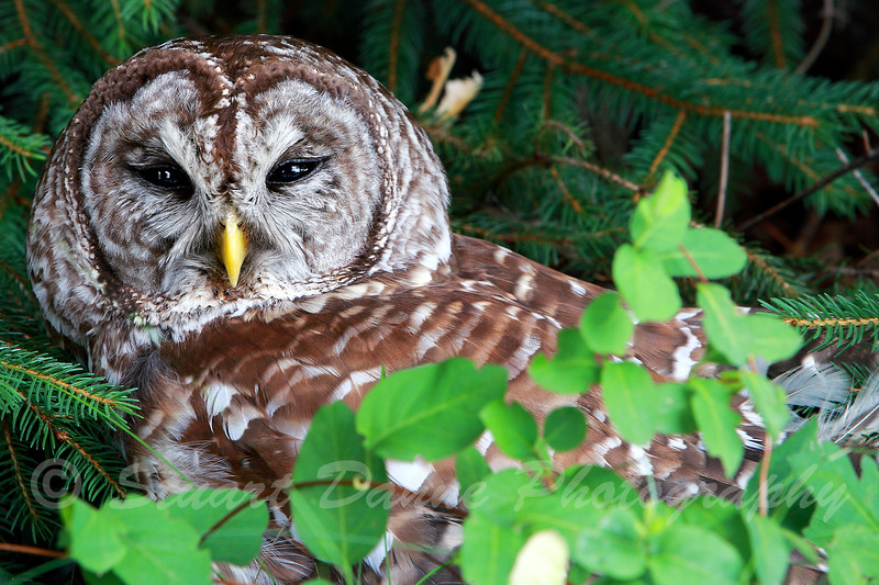 The Barred Owl<br /> This image can be found under Nature >Animals > Local Wildlife