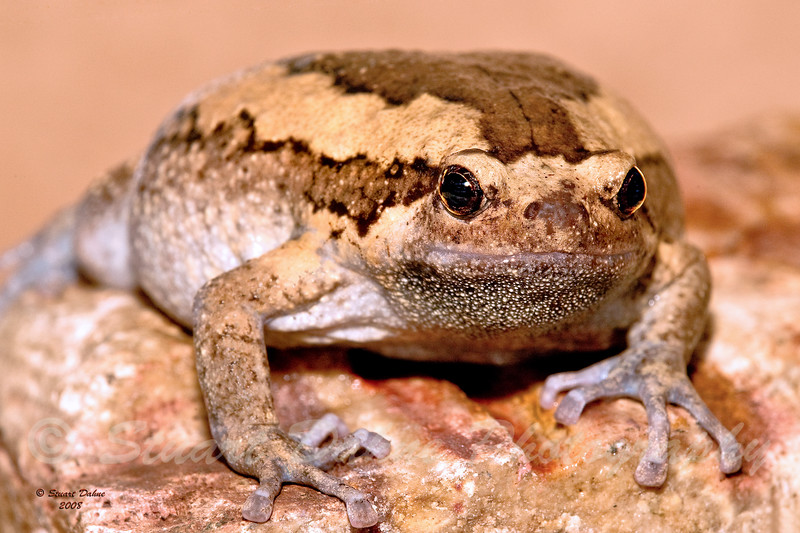 """Painted Chubby ~ Kaloula pulchra<br /> <br /> This can be found in the """"ANIMALS"""" gallery under REPTILES AND AMPHIBIANS"""
