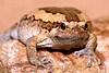 "Painted Chubby ~ Kaloula pulchra<br /> <br /> This can be found in the ""ANIMALS"" gallery under REPTILES AND AMPHIBIANS"