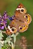 Common Buckeye_Junonia coenia Hübner