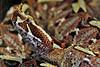 Bitis Nasicornis ~ Rhinoceros Viper