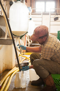 Saving a cow's colostrum for a girl with MS before the full-on milking begins.