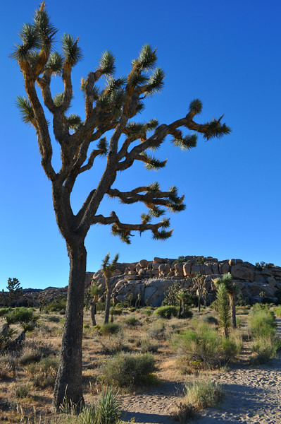 Nothing like the magical and unique Joshua Tree in Joshua Tree National Park.