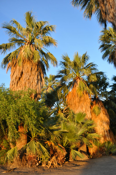These palm trees are so happy at the Oasis of Mara, and so was I underneath them.