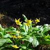 Erythronium americanum 'Pagoda' aka Trout Lily