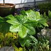 Podophyllum versipelle subsp. boreale