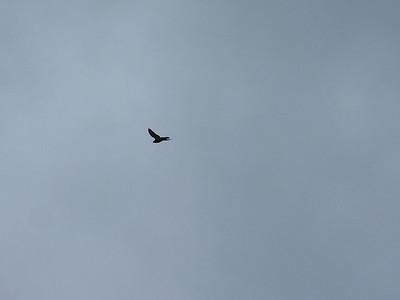 Crow in flight at Medicine Rocks State Park near Ekalaka, Montana