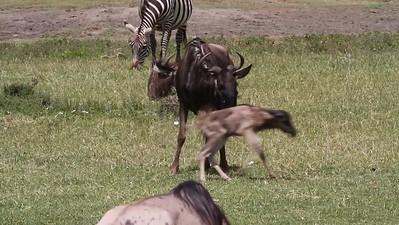 Wildebeest and Hyena