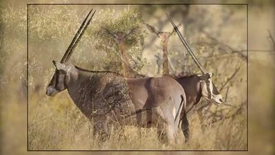 Antelope and Giraffe