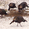 Turkeys beneath our bird feeder on Thanksgiving Day.