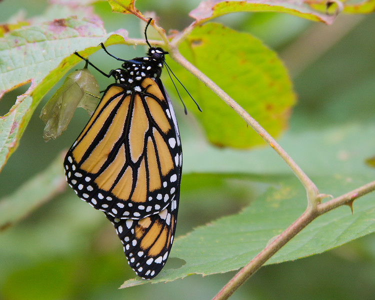 A Monarch butterfly leaving its chrysalis.
