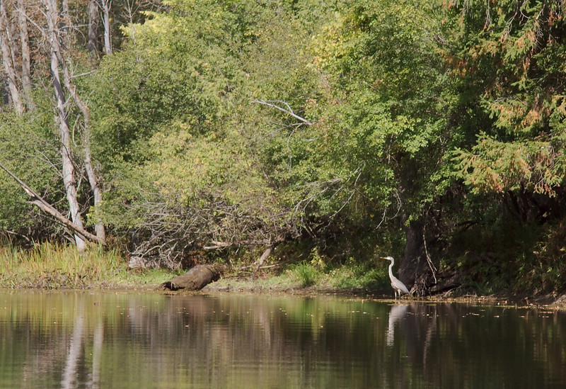 Great Blue Heron on the Little River