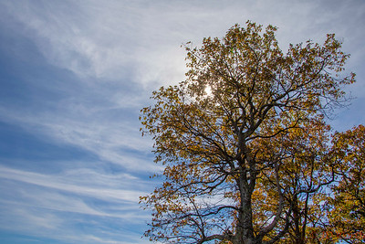 Fall Study in Shenandoah National Park Lookout Tree and Clouds Shape - L3
