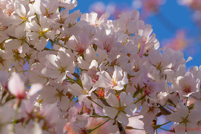 Cherry Blossoms Tidal Basin Washington DC - L2
