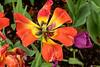 Hexa tulip