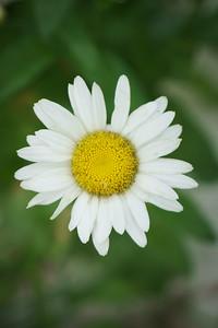 Marguerite daisy vertical