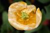 Round about tulip