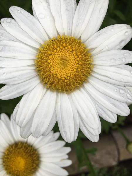 Oxeye daisy pair