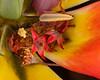 Tulip center closeup
