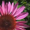 Cone flower pride