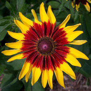 Red and Yellow flower burst