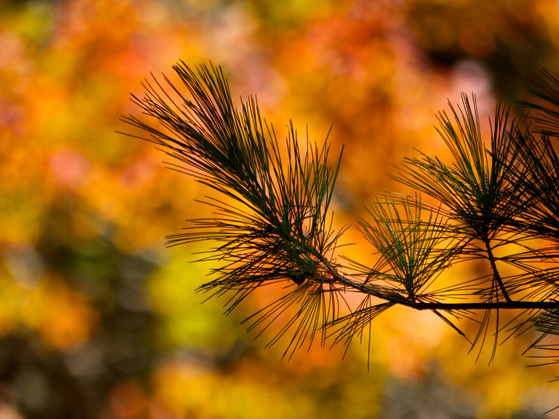 Pine Branch in Fall Setting