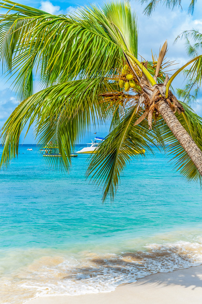 West coast palm tree in Barbados