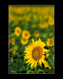 """Stand Out"" Sunflower"