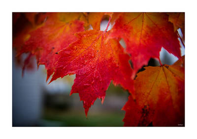 Fall Maple Leaf in Rain_103113_1361