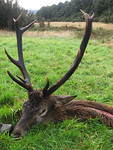 12 point West Coast Red stag