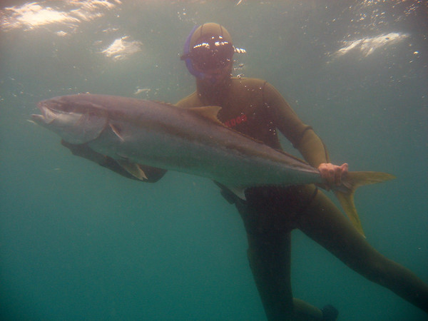 18 kg Yellowtail Kingfish taken freediving.