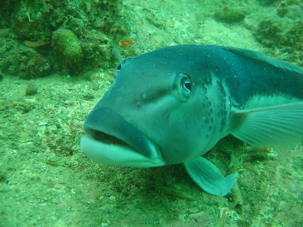 Long Is Blue cod 3