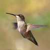 Female Ruby-throated Hummingbird.  Shot and processed on 100311.