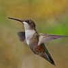 Female Ruby-throated Hummingbird.  Shot on 100311 and re-processed on 071613.