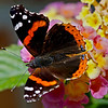 Shot using the A77's in-camera HDR function. Used in-camera HDR, Sony A77 body, Sony 70-400mm lens @ 400mm/5.6.  Narrow DoF was a problem, only about 6 feet away.  Red Admiral butterfly perched on a flower(Lantana) in our backyard in the bright sun.