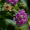 Shot using the A77's in-camera HDR function.  Lantana.