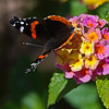 Shot using the A77's in-camera HDR function.  Red Admiral butterfly perched on a flower(Lantana) in our backyard in the bright sun.  Used in-camera HDR