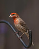 House Finch shot in my backyard on 061209 with my then new Sony A900 full-frame, 24.2 mp body and my Tamron 200-500mm/5.0-6.3.  I shot the birds in my backyard from a one-man blind, and was able to get quite close.