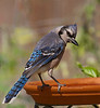 Bluejay male.  Shot in backyard with my Sony A900, full-frame, 24.2mp body and Tamron 200-500mm/5.0-6.3 lens on 061209.