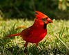 Northern Cardinal male.  Shot in my backyard on 061509.